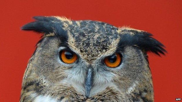 Owl BBC News
